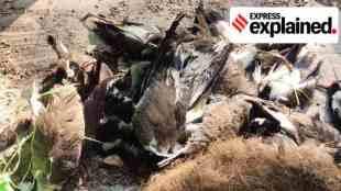Bird flu, bird flu explained, what is bird flu, india bird flu, பறவைக் காய்ச்சல், இந்தியாவில் பறவைக் காய்ச்சல், கேரளா, இமாச்சலப் பிரதேசம், Kerala bird flu explained, H5N1, Himachal Pradesh bird flu, tamil indian Express