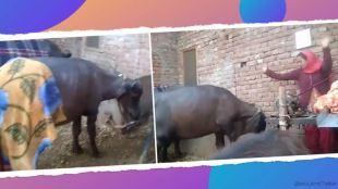 trending viral videos trending viral video of a buffalo dancing with its owner girl has internet viral ஓனர் பெண்ணுடன் ஜோடி போட்டு டான்ஸ் ஆடும் எருமை மாடு: வைரல் வீடியோ