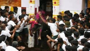 Pongal Jallikattu Live Pongal tamil Jallikattu