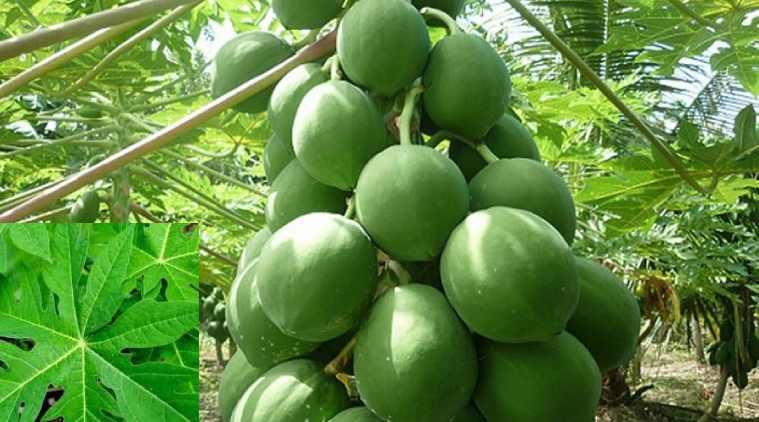 papaya leaves juice, papaya leaves juice health benefits, papaya leaves jice medical important, பப்பாளி, பப்பாளி இலையின் மருத்துவம், பப்பாளி இலை சாறு, பப்பாளி இலை ஜூஸ், papaya tree, how to make papaya leaves juice, பப்பாளி இலை ஜூஸின் மருத்துவப் பயன்கள், papaya juice drinks, papaya fruit, papaya juice, papaya tree, natural health benefits