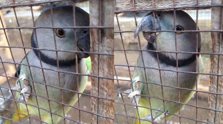 Trending Viral Video of Parakeet saying Meenukutty