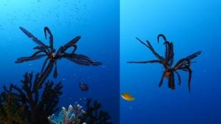 Viral video of Comatulida or feather stars hits instagram one million views
