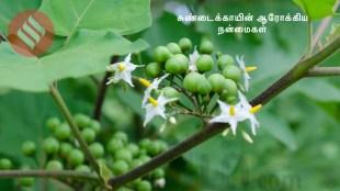 Healthy food Tamil News: sundakkai tamil recipe, and sundakkai benefits