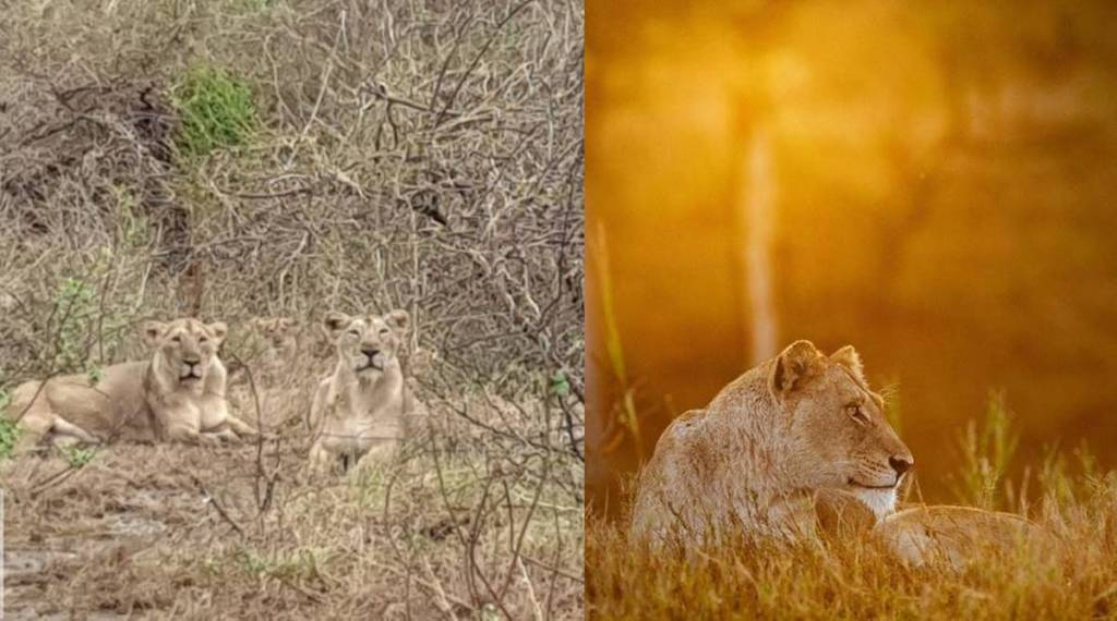 Gir lions, Cyclone Tauktae, south africa