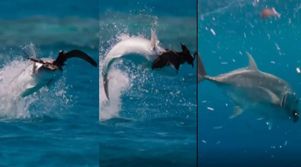 Viral video of giant trevally catching seabird