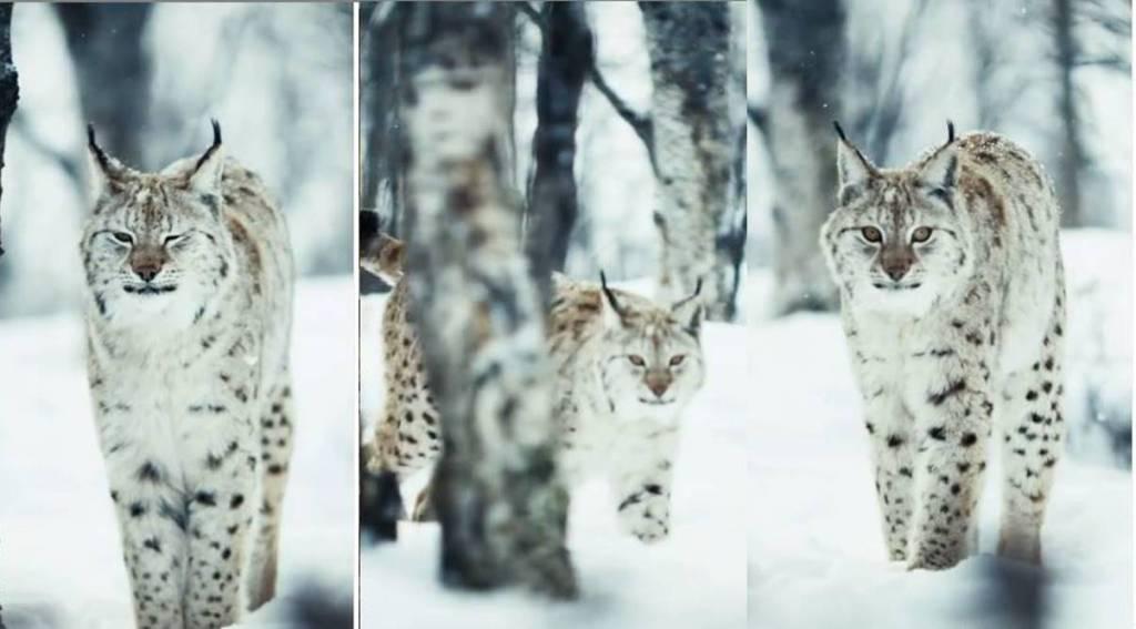 Trending viral video of camouflaged Eurasian lynx, trending video,