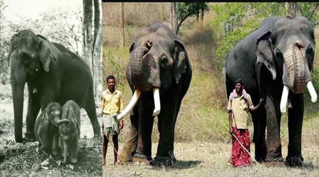 Mudumalai elephant twin brothers Vijay Sujai celebrate 50th birth anniversary