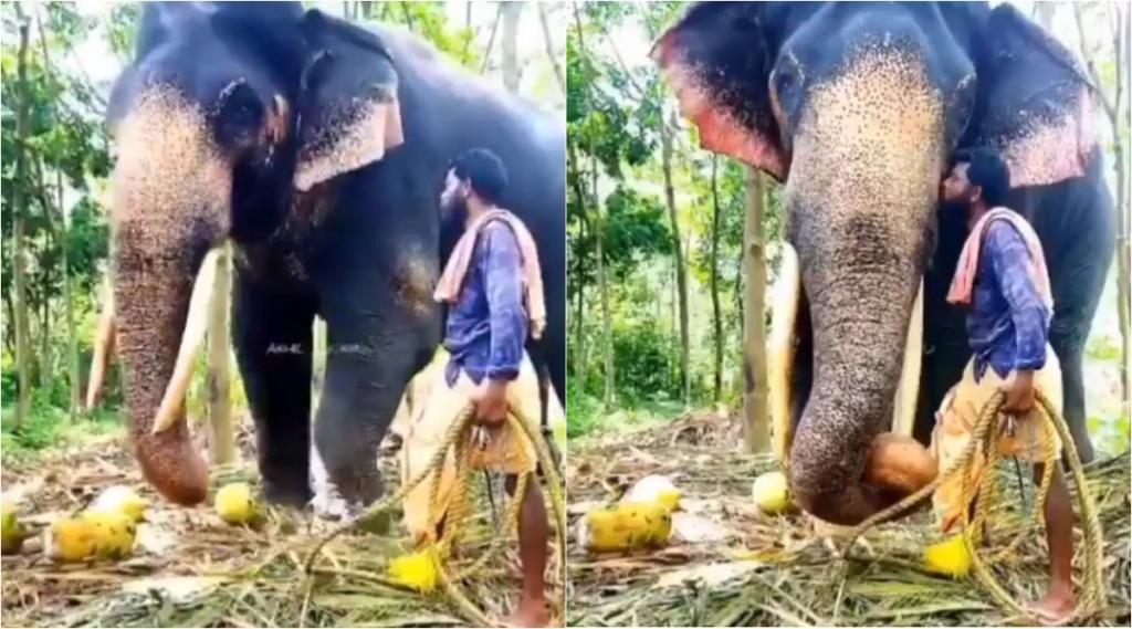 elephant video, elephant kiss video, elephant receives kiss from its caretaker, யானை வீடியோ, யானை முத்தம் வாங்கும் வீடியோ, வைரல் வீடியோ, viral video, tamil viral news, tamil viral video news, elephant viral video news