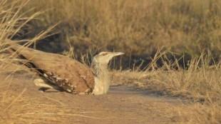Great Indian Bustard habitat loss