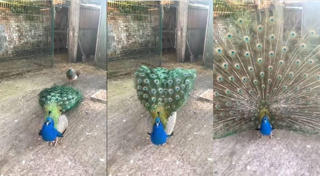 Tamil Viral news Trending video of peacock dance in Slow Mo