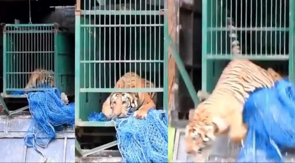 viral video, tiger viral video, viral videos online