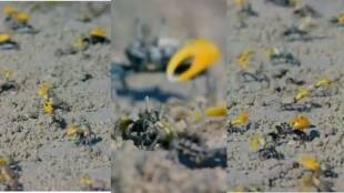 viral video of male crabs are making collective movements with claws