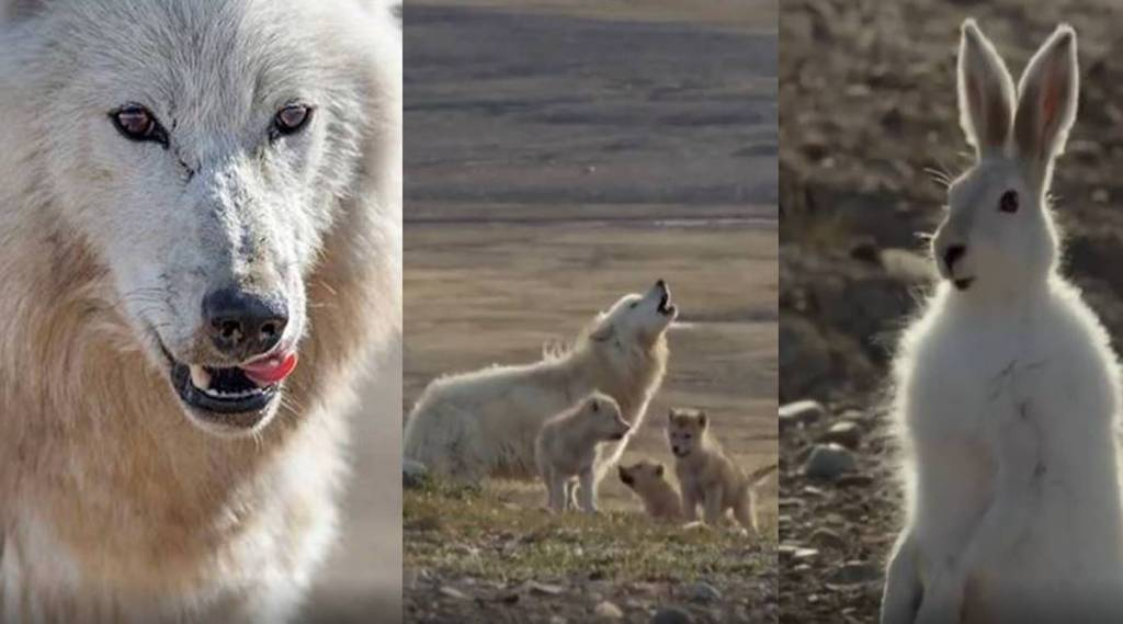 Trending viral video of wolf pack hunt a hare
