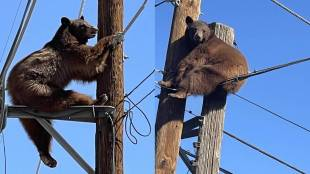 Tamil Viral news Trending video of Bear gets stuck atop power pole