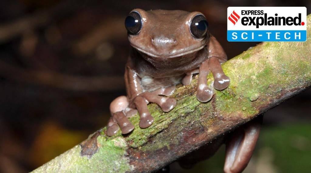 Litoria mira, chocolate frogs