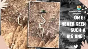 Video of huge King Cobra