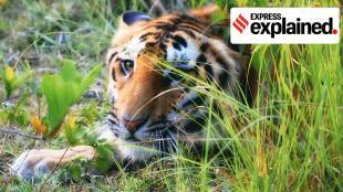 How shutting parks during the rainy season helps tigers