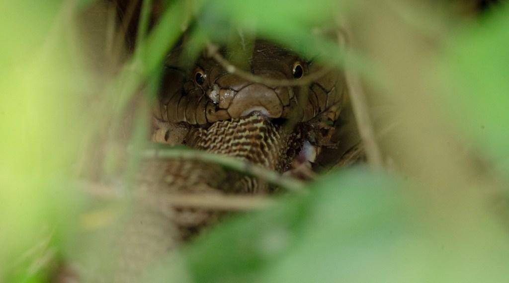 King Cobra, cobra, viral videos, viral photos, snake viral photos,
