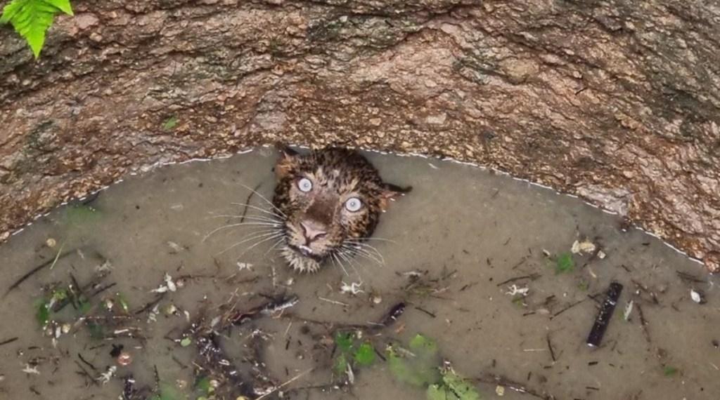 Trending viral photo of Leopard