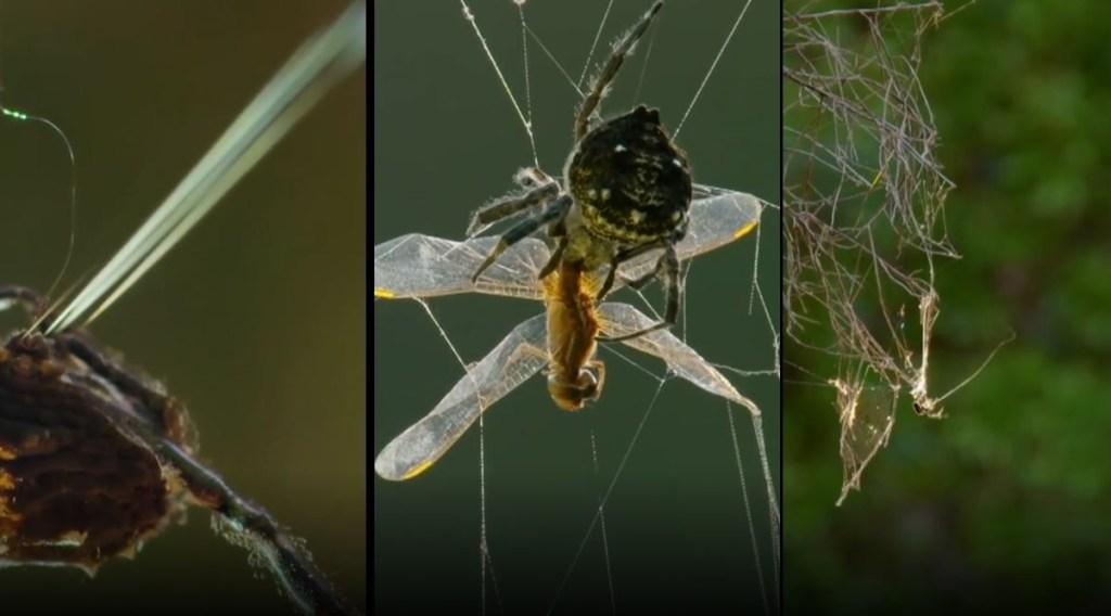 Trending viral video of Darwins bark spider spinning web