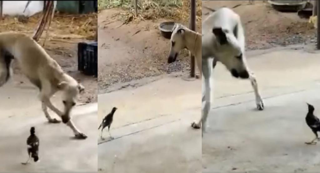 Viral video, trending viral video, kanni dog viral videos