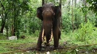 Nilgiris News silver monstera elephant died