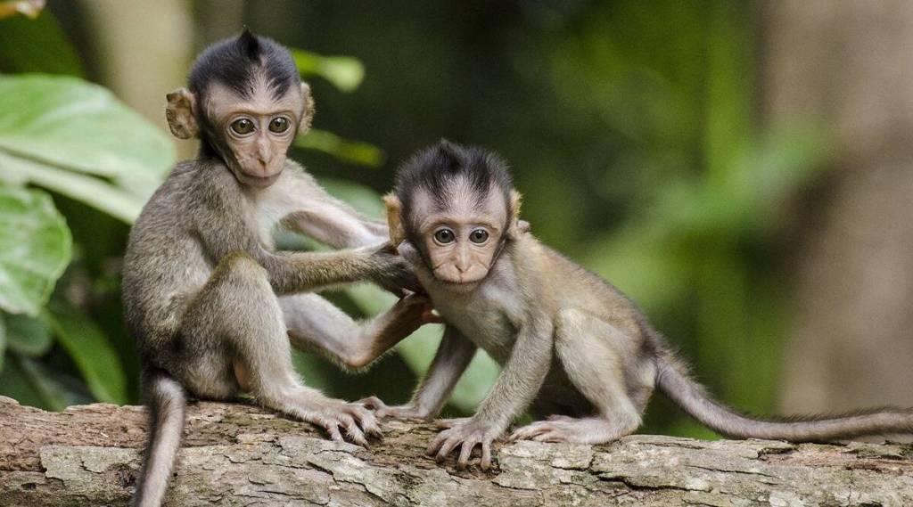 Monkey B virus, new virus counts death in china, Monkey B virus takes one death in china, குரங்கு பி வைரஸ், மங்கி பி வைரஸ், குரங்கு பி வைரஸ் அறிகுறிகள், குரங்கு பி வைரஸ் பாதிப்பால் முதல் உயிரிழப்பு, சீனாவில் குரங்கு பி வைரஸ், குரங்கு பி வைரஸ் தொற்றுக்கு சிகிச்சைகள், Monkey B virus infection Monkey B virus symptoms, Monkey B virus transmission, Monkey B virus prevention, Monkey B virus treatment