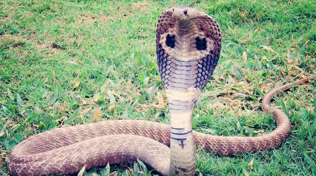 viral video, viral news, trending viral video, cobra viral videos,