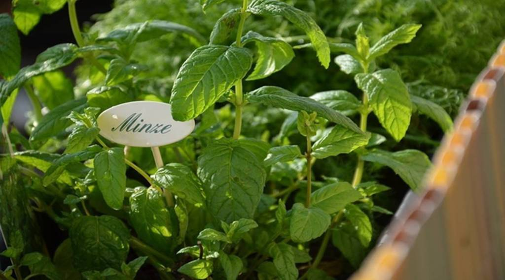 Tamil Health tips: How to make Mint Tea in tamil