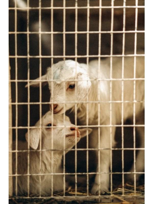 goat - unsplash (1)