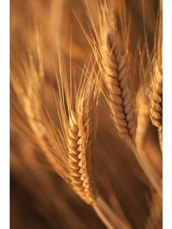 wheat 2 - unsplash (1)